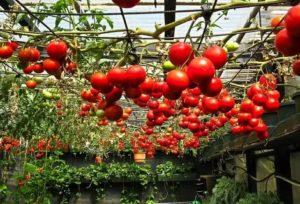 Какие помидоры посадить