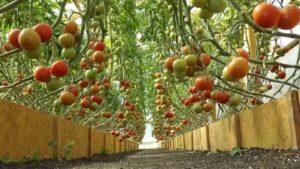 Выращивание помидор видео