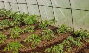 Высаживать рассаду томатов в теплицу