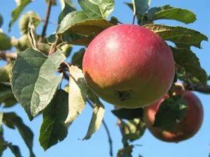 Сорта яблонь для северо запада