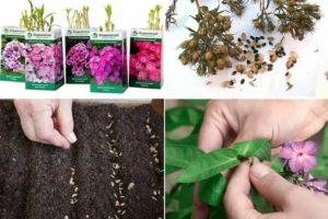 Размножение многолетников семенами