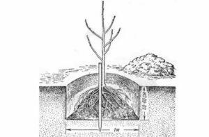 Как и где посадить яблоню