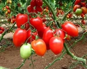 Самый ранний сорт помидор