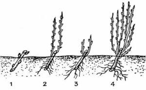 Черенкование смородины весной