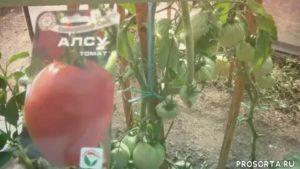 Урожайные сорта помидоров на урале