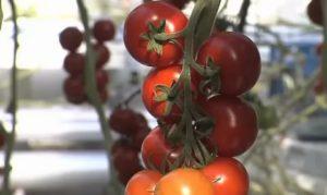 Лучшие голландские сорта томатов