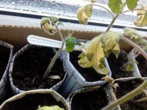Рассада помидор что делать если плохо растёт