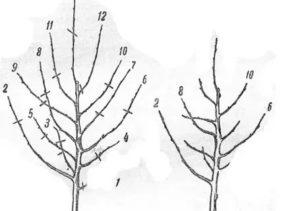 Как формировать крону у яблони