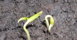 Не прорастают семена помидоров