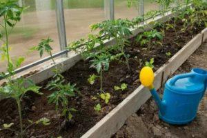 Как правильно сажать помидоров в теплице