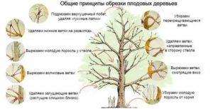 Обрезка молодых плодовых деревьев весной