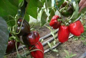 Уход за помидорами и перцем