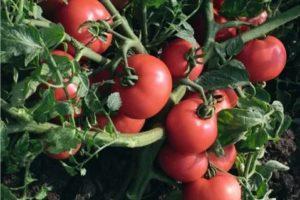 Сорта помидоров для открытого грунта в подмосковье