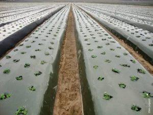 Выращивание клубники под агроволокном видео