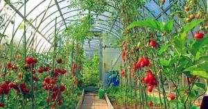 Какие помидоры лучше садить в теплице
