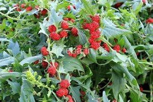 Земляничный шпинат выращивание