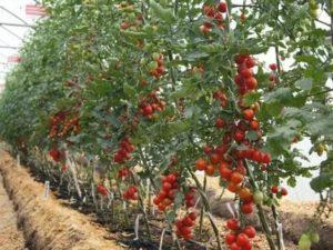Выращивание индетерминантных томатов в теплице