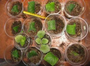 Размножение примул листьями