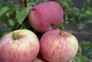 Самые ранние сорта яблонь