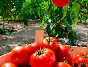 Как получить хороший урожай помидор