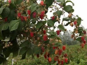 Отзывы о дерево малине