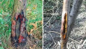 Трещины на коре плодовых деревьев