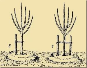Как подвязывать яблони