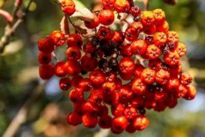 Какие ягоды красного цвета