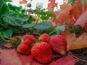 Садовая земляника уход осенью