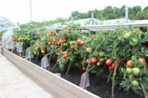 Как сделать теплицу для помидор