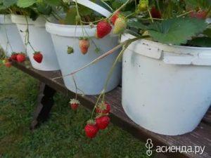 Выращивание клубники в ведре
