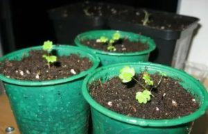 Земляника альпийская выращивание из семян