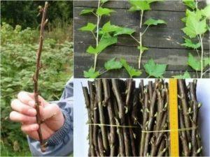 Как размножить смородину весной