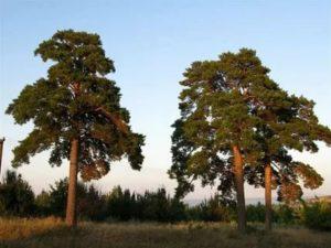 Виды сосен в россии