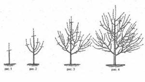 Яблоня формирование кроны