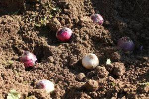 Когда сажать луковицы гиацинтов