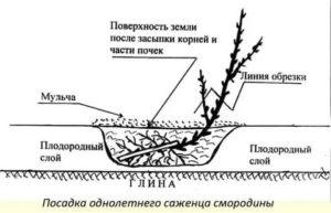 Как посадить правильно смородину