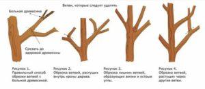 Когда производить обрезку плодовых деревьев