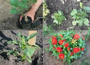 Когда высаживать цветы в грунт