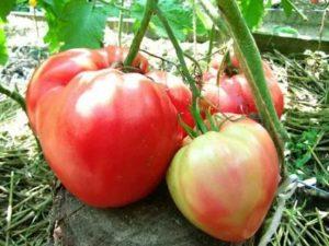 Сладкие сорта помидор