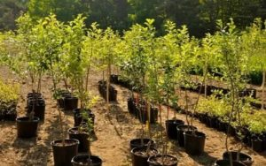 Как выбирать саженцы деревьев