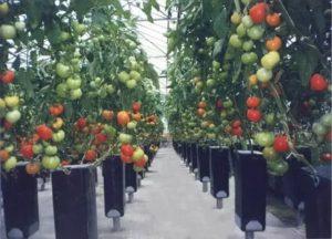 Технология выращивания помидоров в теплицах