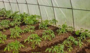 Как правильно сажать томаты