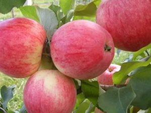 Лучшие летние сорта яблонь