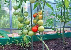 Правильный уход за помидорами в теплице