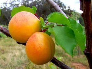 Сорта абрикос россии