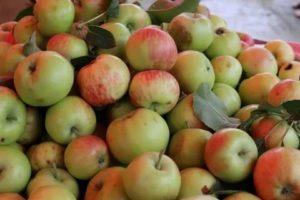 Самый ранний сорт яблони
