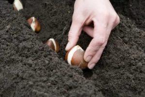 Тюльпаны посадка и уход весной