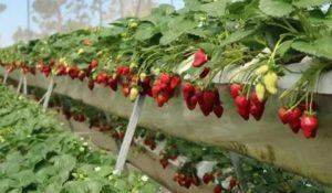 Выращивание ремонтантной клубники в теплице