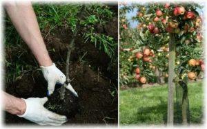 Лучшее время для посадки яблонь
